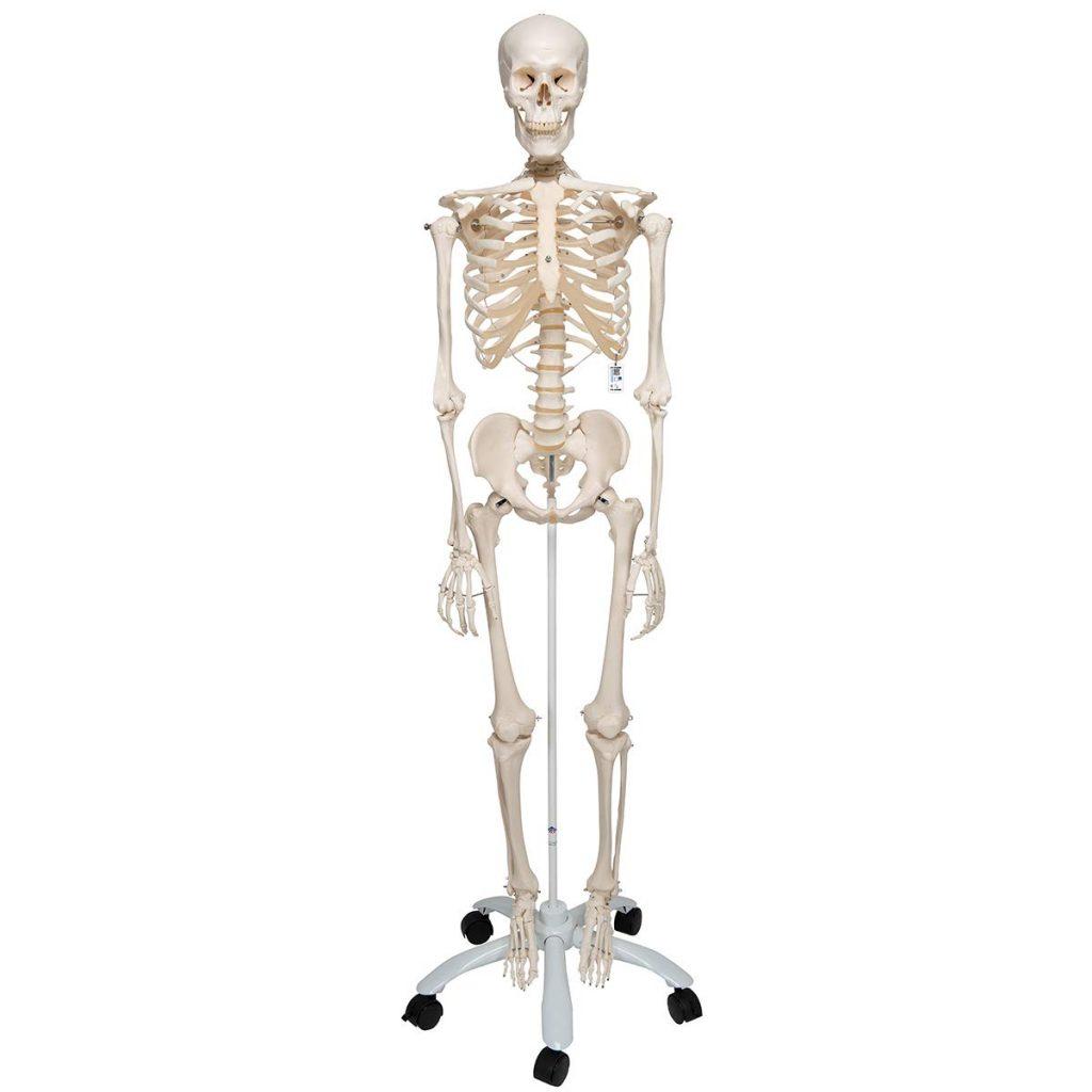 3B Scientific A10 Esqueleto Sobre Pie Metálico
