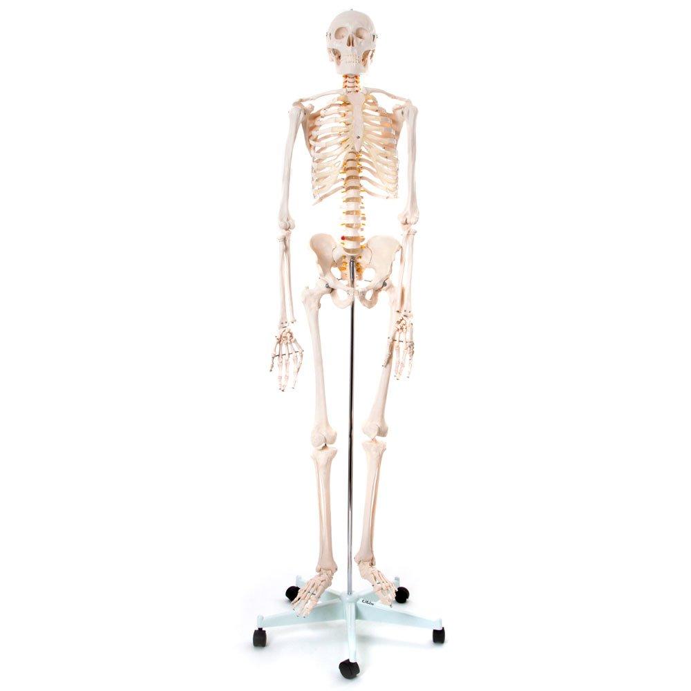 66FIT - Modelo anatómico de esqueleto humano
