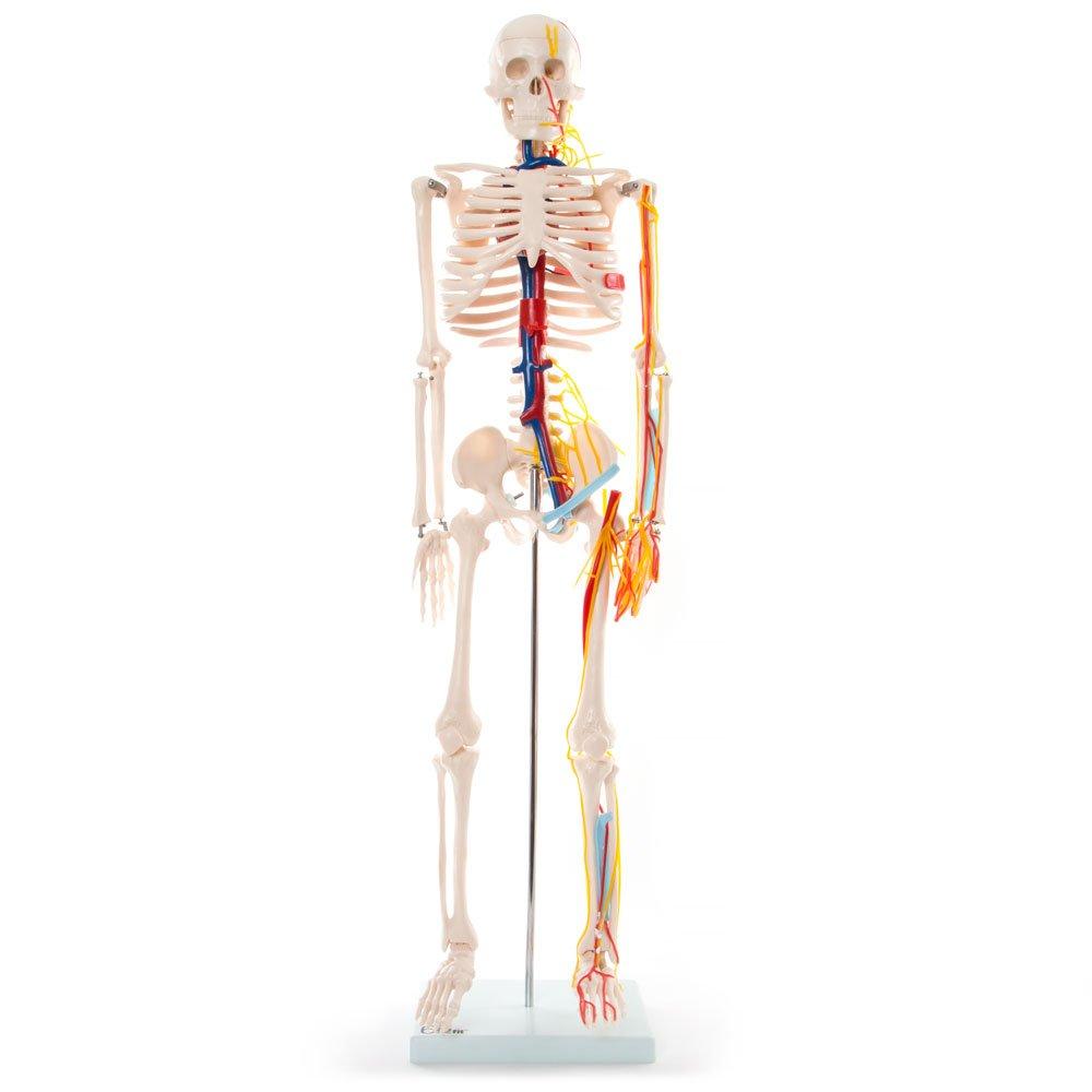 66FIT - Modelo anatómico de esqueleto con nervios y vasos sanguíneos