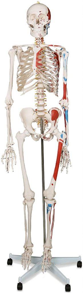 Modelo Anatómico de Esqueleto