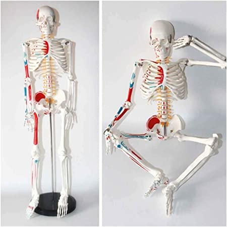 Esqueleto de estudio